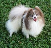 Adorable Pomeranian puppies for re-homing a good home